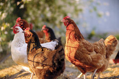 Traditional free range poultry farming. Royalty Free Stock Image