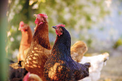 Traditional free range poultry farming. Free range yard poultry farming, in Poland royalty free stock image