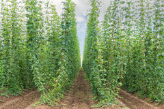 Traditional fully grown Czech hop field. Long furrows Stock Photos