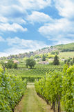 Traditional grape fields. Grape fields under the blue sky from Hungary, Villany royalty free stock image
