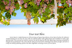 Traditional Grapes background with text space Royalty Free Stock Images