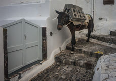 Traditional Greek donkeys in Oia on Santorini island in Greece Stock Image