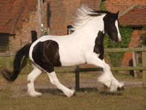 Traditional Gypsy Cob Royalty Free Stock Photography