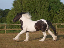 Traditional Gypsy Cob Stock Photo