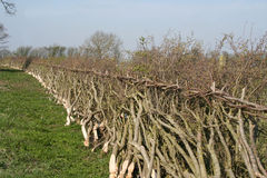 Traditional hedge laying in England. Example of the ancient and traditional hedge laying method in a British landscape Stock Images