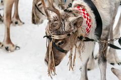Traditional holiday of the peoples of Siberia. Team of reindeers stock photography