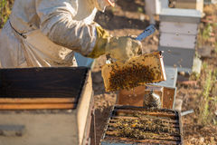Traditional honey harvesting in a spring morning, Algarve Royalty Free Stock Images