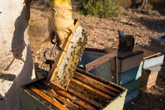 Traditional honey harvesting in a spring morning, Algarve Royalty Free Stock Image