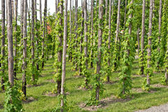 Traditional hop garden Royalty Free Stock Photography