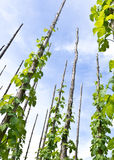 Traditional hop garden Stock Photo