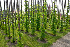 Traditional hop garden Stock Images