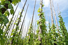 Traditional hop garden Royalty Free Stock Photos