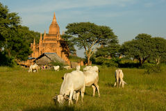 Traditional house and grazing zebu cows in front of temple in Ba Stock Image