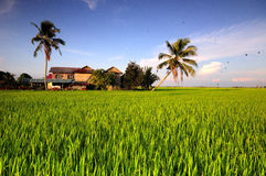 Traditional House in Paddy Field Stock Photography