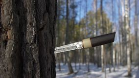 Traditional japanese sword in tree in winter forest. Traditional japanese sword tanto with wooden handle in tree in winter forest, close up stock footage