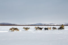 Traditional Kamchatka Sled Dog Racing Beringia Royalty Free Stock Images