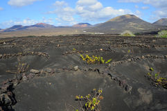 Traditional Lanzarote viticulture Royalty Free Stock Photos