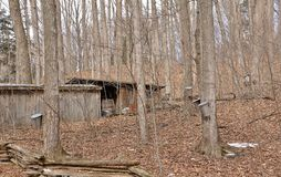 Traditional looking sugar bush in operation with shack and buckets Royalty Free Stock Images