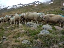 Traditional march of sheeps herd over a mountain pass to the pasture. In austria royalty free stock photos