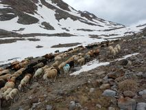 Traditional march of sheeps herd over a mountain pass to the pasture. In austria royalty free stock photography