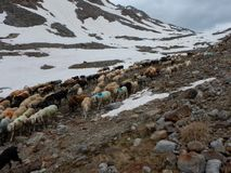Traditional march of sheeps herd over a mountain pass to the pasture. In austria stock photo