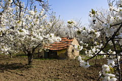 Traditional mud farmhouse in orchard Stock Image