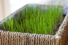 Traditional Nordic Easter grass in a basket Stock Images