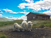Traditional Norwegian house with grass roof and local white sheeps. Royalty Free Stock Photos