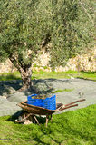 Traditional olive harvest Stock Images