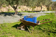 Traditional olive harvest Stock Photo