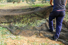 Traditional olive harvest, Andalusia, Spain Royalty Free Stock Images