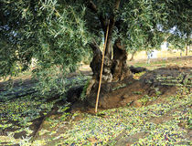 Traditional olive harvest, Andalusia, Spain Stock Photography