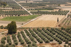 Traditional olive trees plantation in Crete. Greece Royalty Free Stock Photos