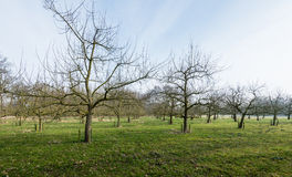 Traditional orchard with half standard cherry trees Royalty Free Stock Photos