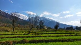 Fresh wheat  sprouts on terrace farmland organic Indian farming in remote  Himalayas Stock Image