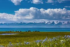 Traditional pasture in the high mountains. Kyrgyzstan. Song Kol Lake. Traditional pasture in the high mountains. A herd of cows is grazing on the shore of a stock images