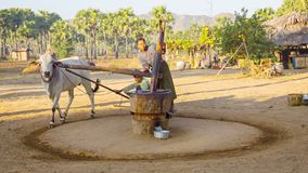 Traditional peanut oil production in rural burmese area with yoked oxen stock footage