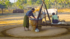 Traditional peanut oil production in rural burmese area with yoked oxen stock video footage