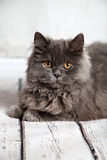 Traditional Persian Cat Royalty Free Stock Image