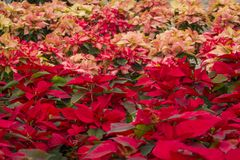 Poinsettia flower in Mexico greenhouse to decorate at Christmas stock photography