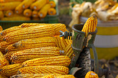 Traditional processing of corn. Yield Royalty Free Stock Photo