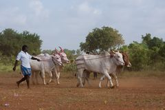 Traditional recreational sport activity in Jaffna stock image