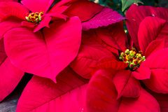Traditional red poinsettias Christmas flowering plant Stock Photography