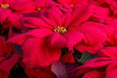 Traditional red poinsettias Christmas flowering plant Royalty Free Stock Photo