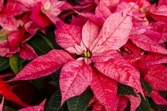 Traditional red poinsettias Christmas flowering plant Royalty Free Stock Photography