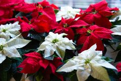 Christmas plant in bloom. Poinsettia in bloom as Christmas decorations. Traditional red and white Christmas stars in bloom as Christmas decorations stock photography