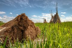 Traditional reed harvesting for thatched roofs Stock Photography