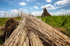 Traditional reed harvesting for thatched roofs Stock Photos