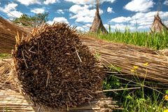 Traditional reed harvesting for thatched roofs Stock Images
