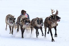 Traditional reindeer sled racing among the indigenous peoples of. NADYM, RUSSIA - MARCH 04, 2018: Competitions on reindeer sledding during the traditional Nenets Stock Photos